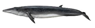 Brydes whale