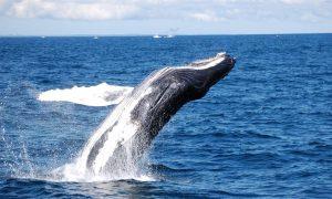 Cronulla Humpback whale tour