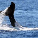 Whale Watching Tours - Humpback
