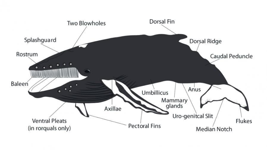 Humpback Whale - Cronulla Whale Watching