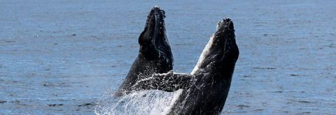 WITNESS WHALES DANCING....