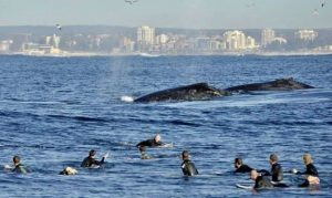 Surfers and whales meet in Cronulla Sydney
