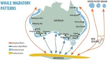 Whale migration patterns Sydney