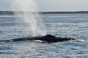 Whale Watching Humpback