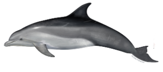 Bottlenose dolphin watching Cronulla Sydney